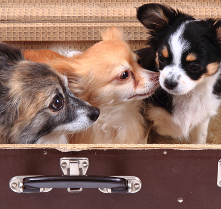 three chihuahua dogs in the suitcase as nice animal story